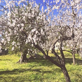 One of the highlights of the winter in Mallorca: the almond trees are blossoming... - -